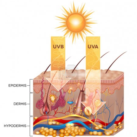 UVB and UVA radiation
