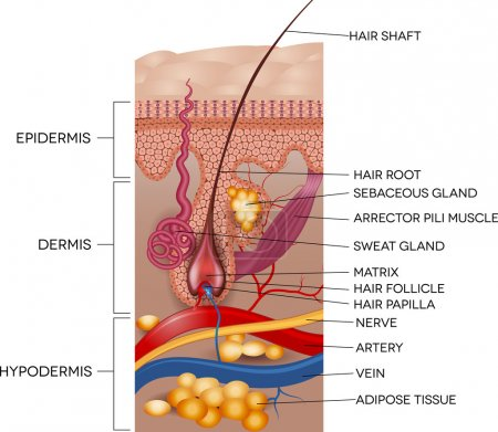 Illustration for Labeled Skin and hair anatomy. Detailed medical illustration. - Royalty Free Image