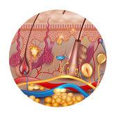 Skin anatomy in round shape