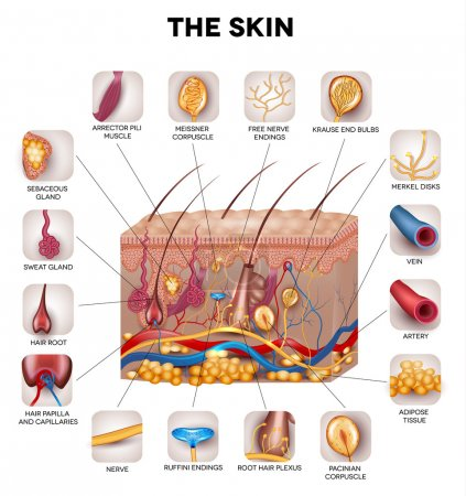 Illustration for Skin anatomy, detailed illustration. Beautiful bright colors. - Royalty Free Image