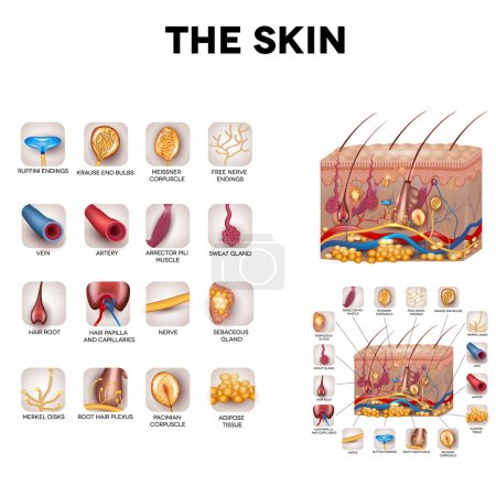 The skin and skin structure components, detailed i...