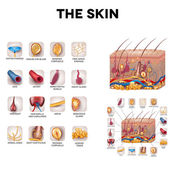 The skin and skin structure components detailed illustration Skin sensory receptors vessels hair muscle etc Beautiful bright colors