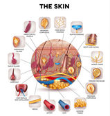 Skin anatomy in the round shape detailed illustration Beautiful bright colors