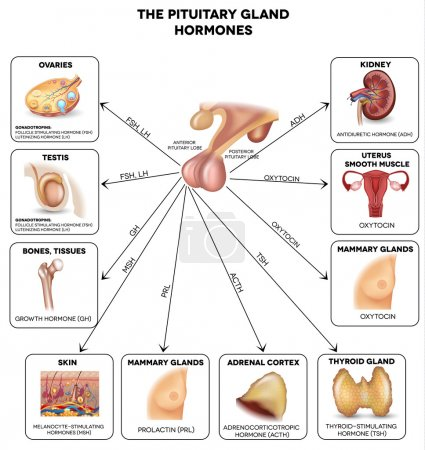 Pituitary gland hormones and influenced organs
