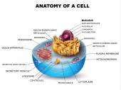Cell structure cross section