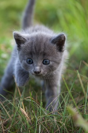 Little smoky blue cat in green summer grass