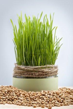 wheat seeds green grass grown in a pot