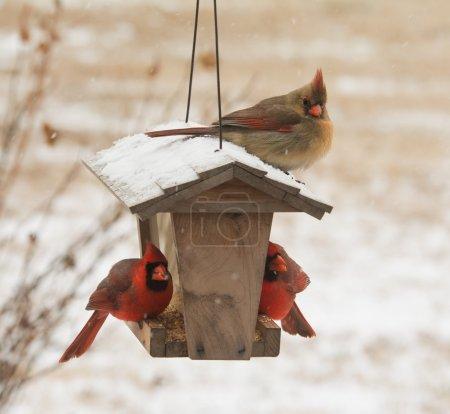 Photo pour Cardinal nordique femelle assise sur le dessus d'une mangeoire d'oiseaux dans les chutes de neige, avec deux mâles sous ses graines mangeuses - image libre de droit