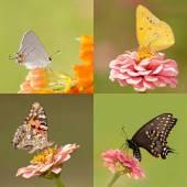 Collage aus vier Schmetterlinge mit winzigen Gray-Zipfelfalter, Orange Schwefel, Distelfalter und ein Schwalbenschwanz schwarz auf hell und dunkel grün hintergrund