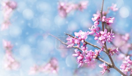 Dreamy image of an Eastern Redbud flowering in early spring