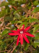 Large bright red bloom of a Crimson Passion Vine, Passiflora vitifolia, growing on a trellis
