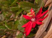 Crimson Passion Vine flower blooming on a wooden trellis