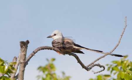 Scissor-tailed Flycatcher sitting in a persimmon t...