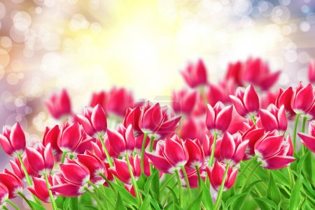 Photo for Tulip flowers close up - Royalty Free Image