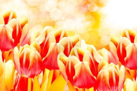 Photo pour Gros plan de belles fleurs de tulipes fraîches - image libre de droit