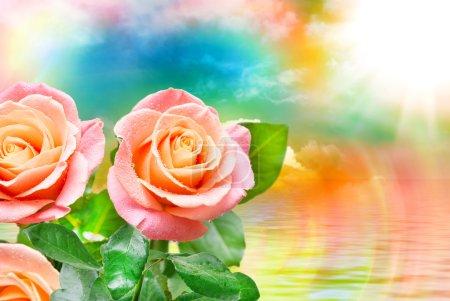 Photo pour Gros plan de belle fleur de rose fraîche - image libre de droit