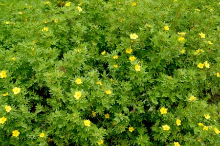The blossoming cinquefoil shrubby (Kuril tea shrubby, a silverwe