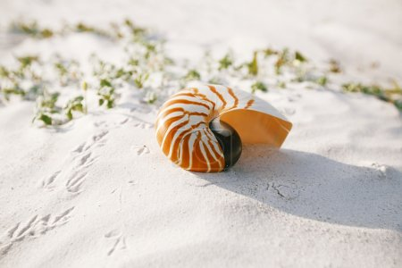 nautilus shell on white Florida beach