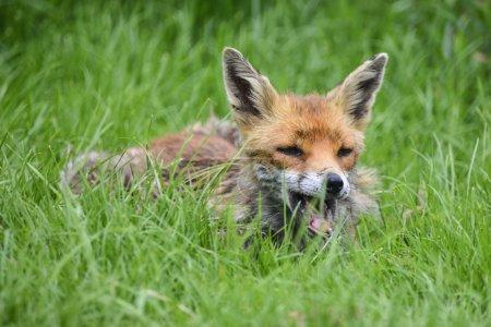 Photo pour Belle image de renard roux vulpes vulpes, dans un paysage de campagne d'été - image libre de droit