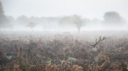 Ciervo rojo ciervo en niebla atmosférica Paisaje otoñal