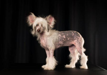 Chinese crested dog portrait in studio