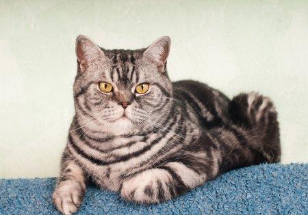 Full body portrait of american shorthair cat