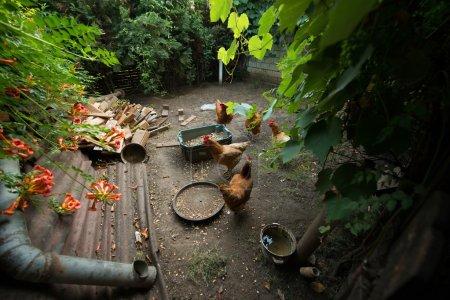 Photo pour Certains poulets dans la cour de volaille manger - image libre de droit