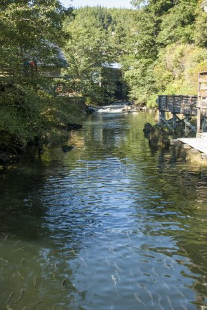Salmons in Ketchikan Creek River