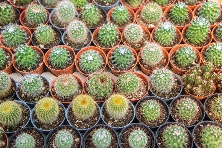 Cactus  farm in greenhouse.