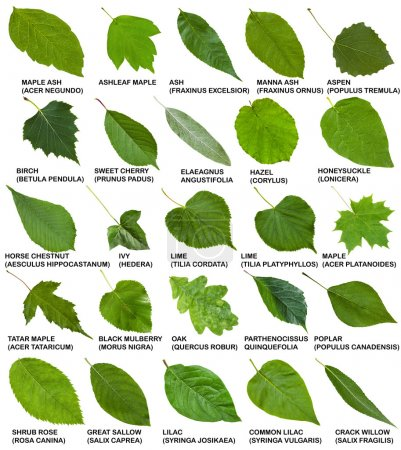 Green leaves of trees and shrubs with names isolat...