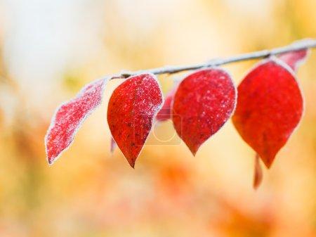 Photo pour Premier gel sur les feuilles rouges dans la forêt d'automne - image libre de droit