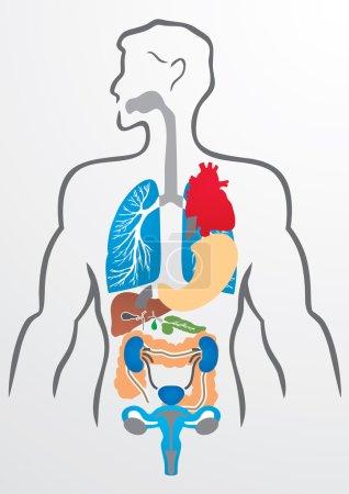 Human organs and human body - Illustration