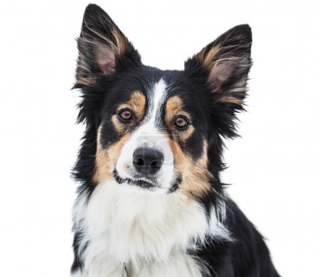 Close-up of a tricolor border collie