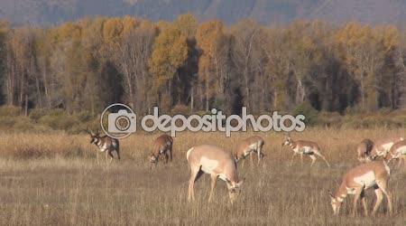 Vidloroh americký antilopy v říji