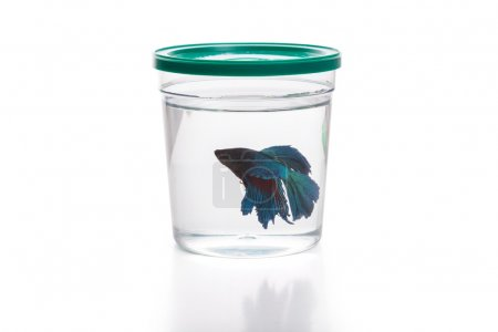 Photo for Blue Siamese fighting fish in fish container - Royalty Free Image