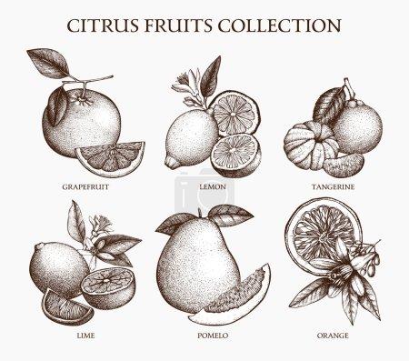Illustration for Vintage hand drawn set of citrus fruits sketch. Vector illustration - Royalty Free Image