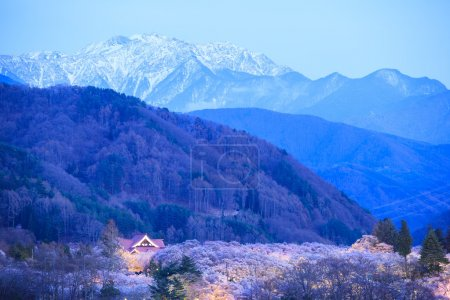 Light up of Cherry Blossoms and Japan Alps, Takato...
