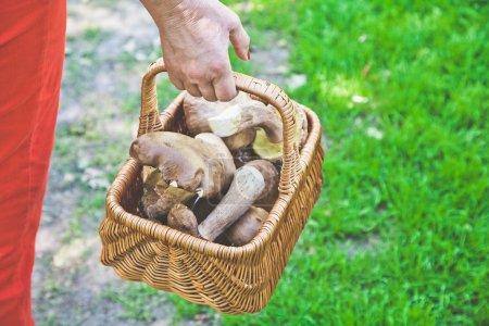 Luck mushroom picker. Basket with white porcini mushrooms.
