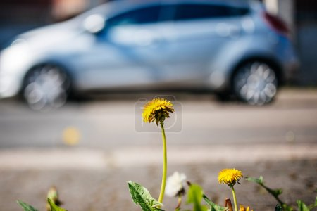 Dandelion closeup with hybrid car in the background ecology envi