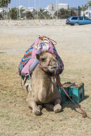Photo pour Chameau avec des sacs sur le dos repose sur le sol au soleil chaud - image libre de droit