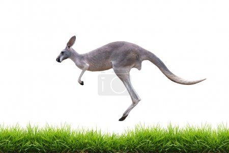 grey kangaroo jump on green grass isolated