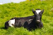 Black and White Cow Resting on Green Pasture