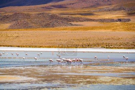 Flock of flamingo feeding in a laguna