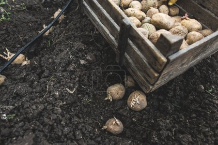 Photo for Planting potatoes in small bio garden. - Royalty Free Image