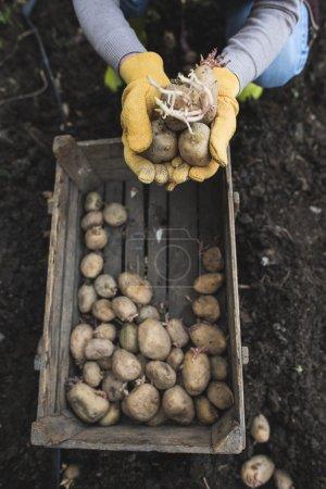 Woman planting potatoes