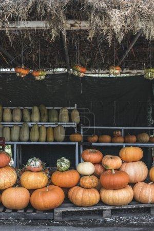 fresh pumpkins on market