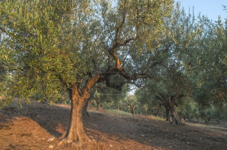 Olive trees in plantation.