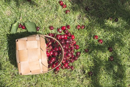 Morello Cherries scattered out from basket