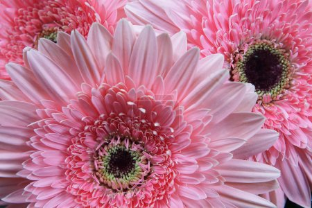 Gerbera daisies flowers background pink a lot...