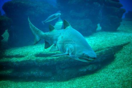 Photo pour Grand requin blanc dans les profondeurs de la mer . - image libre de droit
